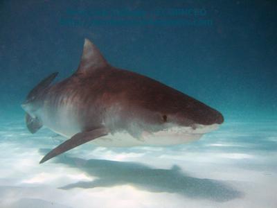 tiburon blanco asesino imagen muerto