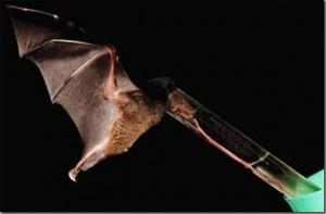Murcielago de nectar y su gran lengua