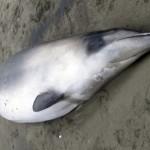 La ballena más rara