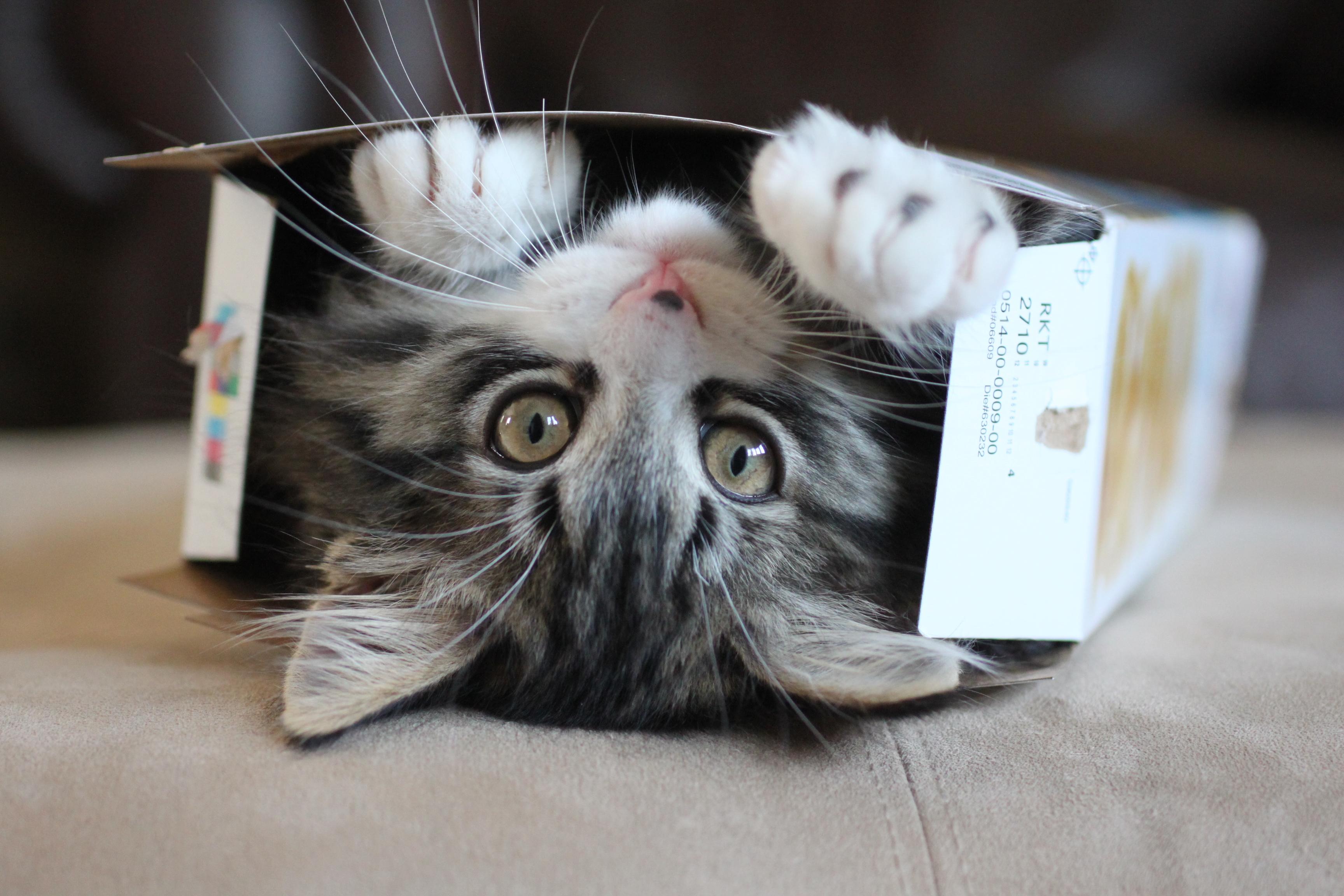 gatos les gustan las cajas