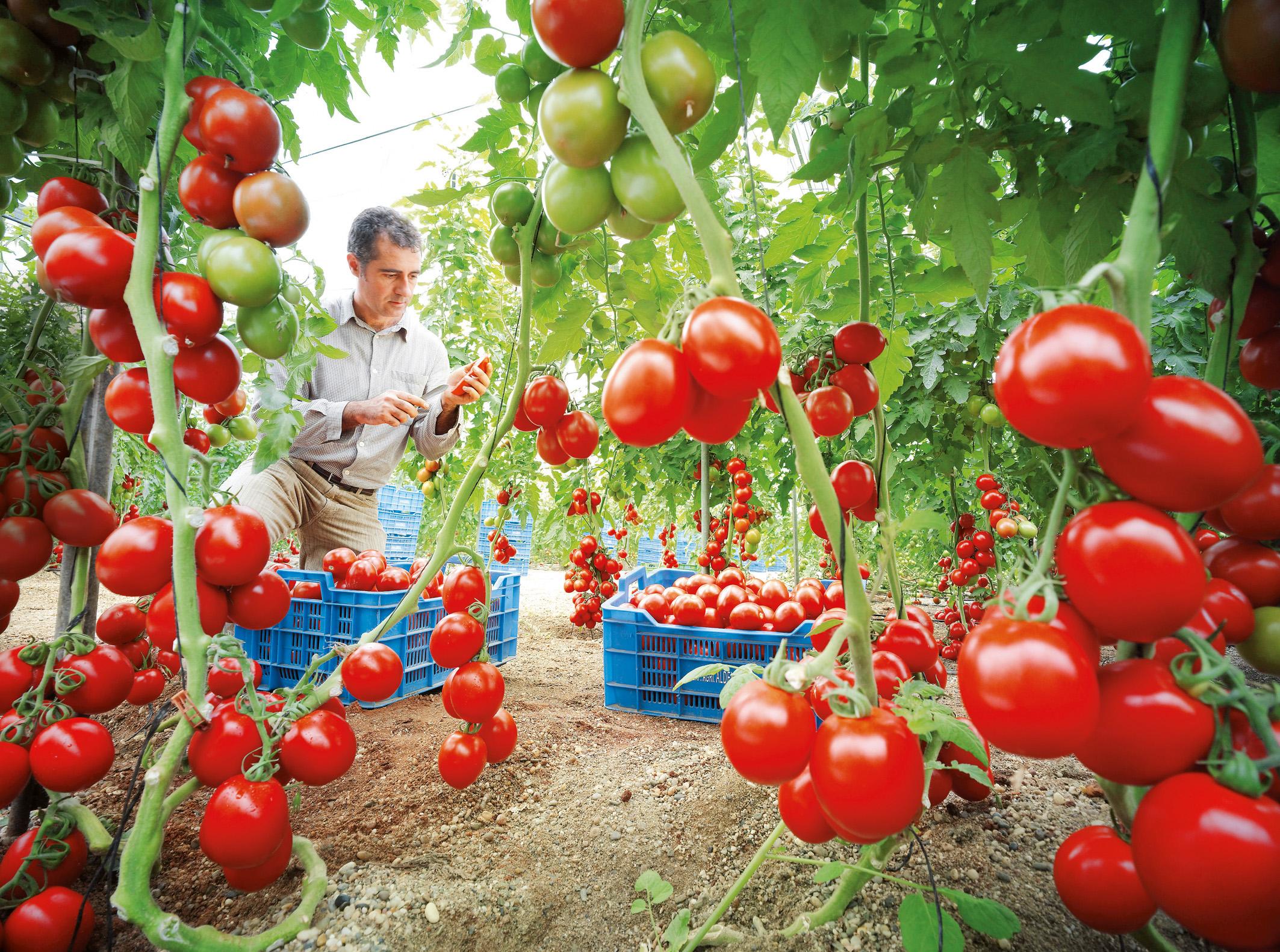 El tomate es una fruta o un vegetal 2