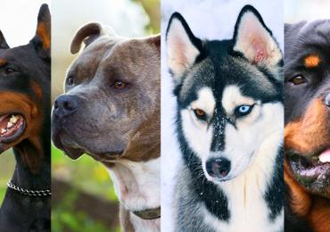 Razas de perro mas peligrosas