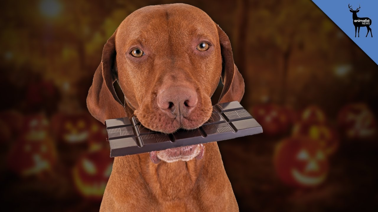 How Much Chocolate Does It Take To Kill A Dog