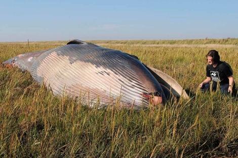 Encuentran a 800 metros alejada del mar una ballena muerta