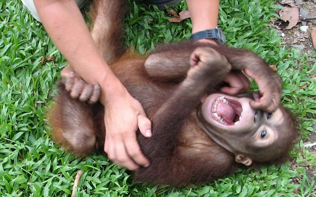 African apes laughter study